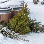Pécsett idén is energia lesz a kidobott karácsonyfákból